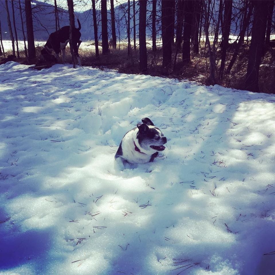 PSA: there are still deep pockets of snow to get stuck in if you are little   #DogsOfKimberley