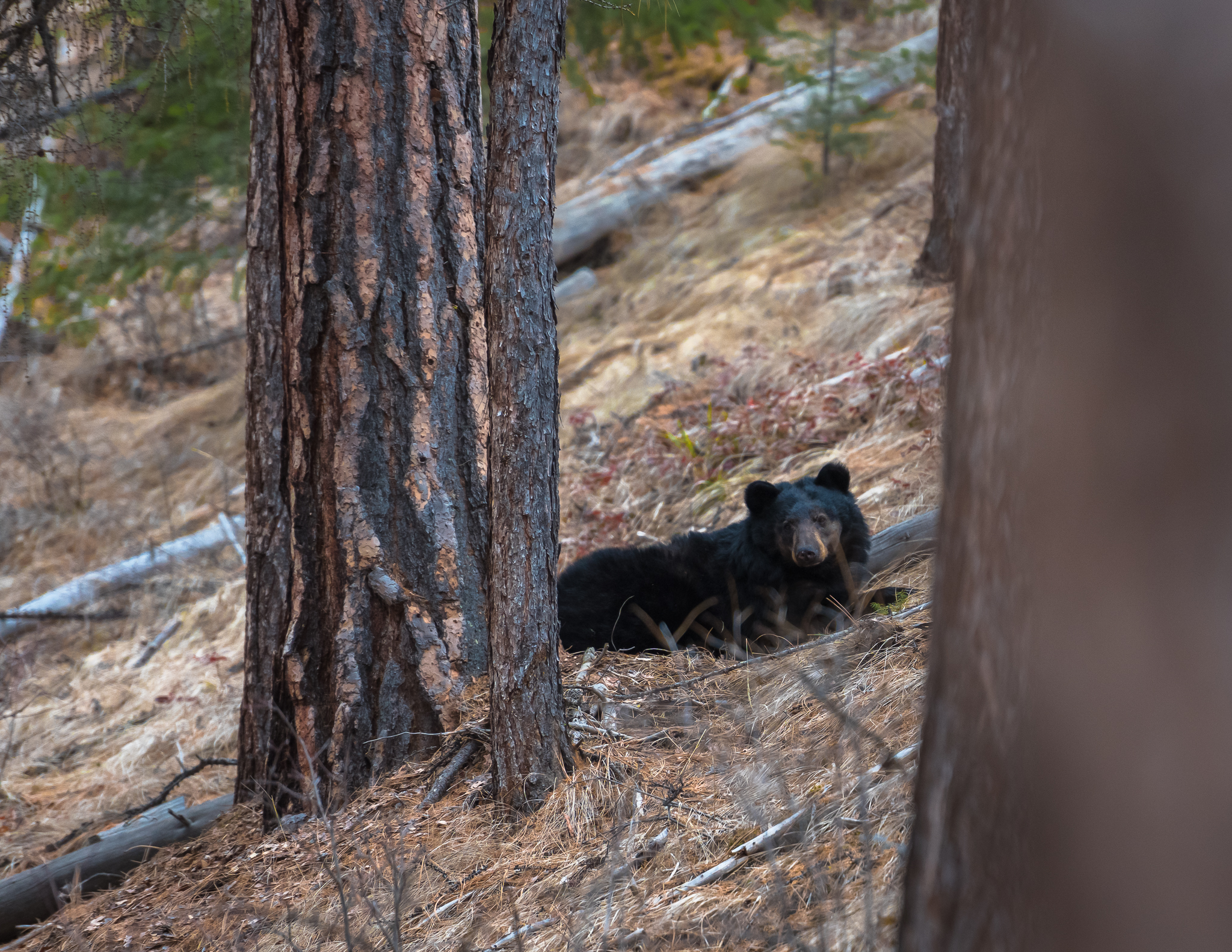 Bears are Back! (photo by      Aric R. Keane Photography     )