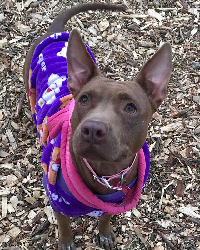 NELLIE...Our sweet girl is waiting for her forever home in New York. She is a cuddly, lap dog and a complete sweetheart. She was abandoned by her previous owner and is a heartworm survivor. 💕💕💕 #rescuedogs #longisland #adoptdontshop
