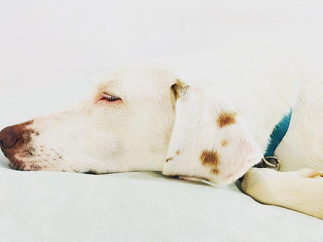 GUERO...Sweet Dreams  #rescuedog #tulum #adoptdontshop #razamestiza