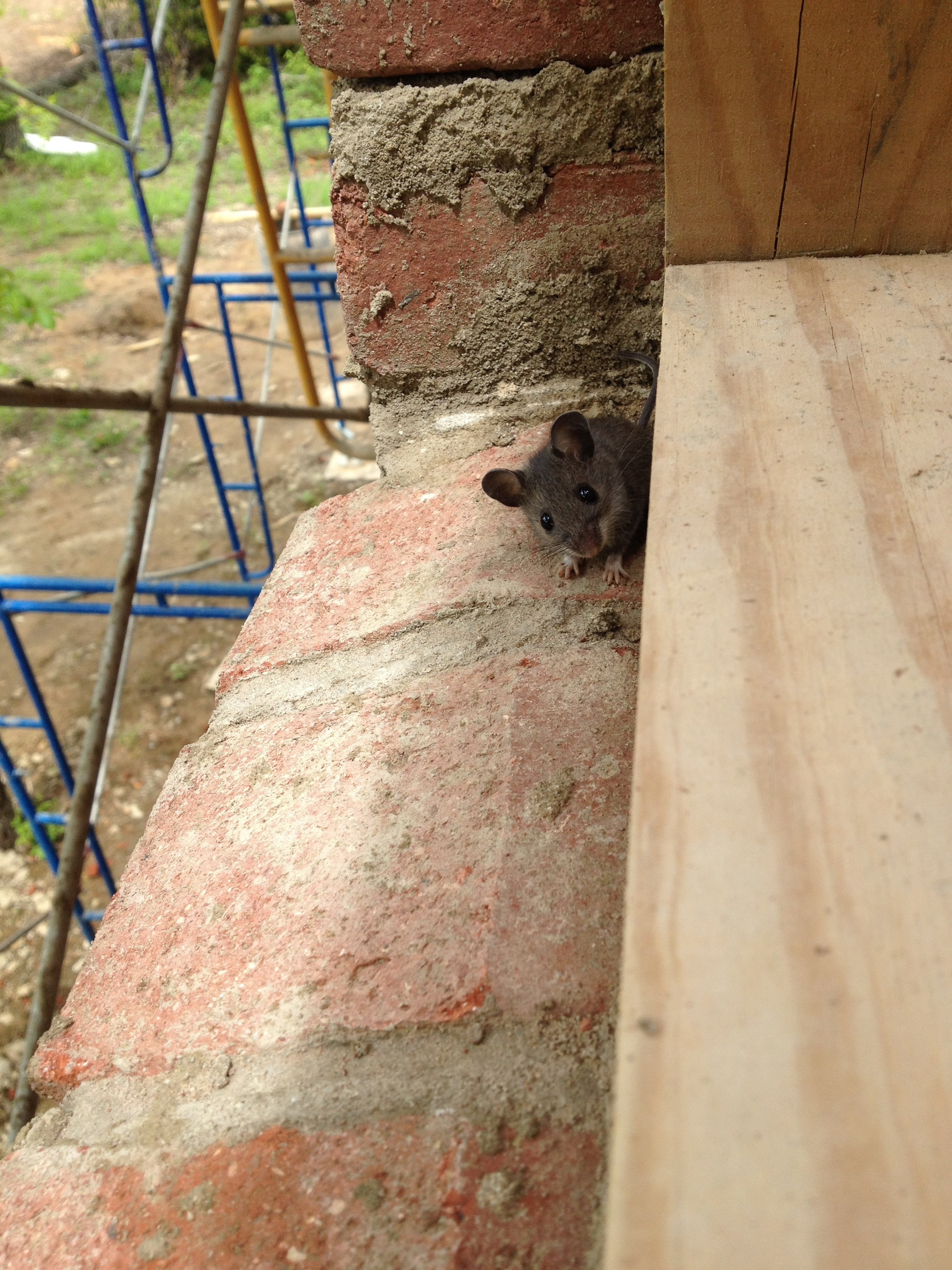 structural masonry, friendly mouse pays a visit on sill brick