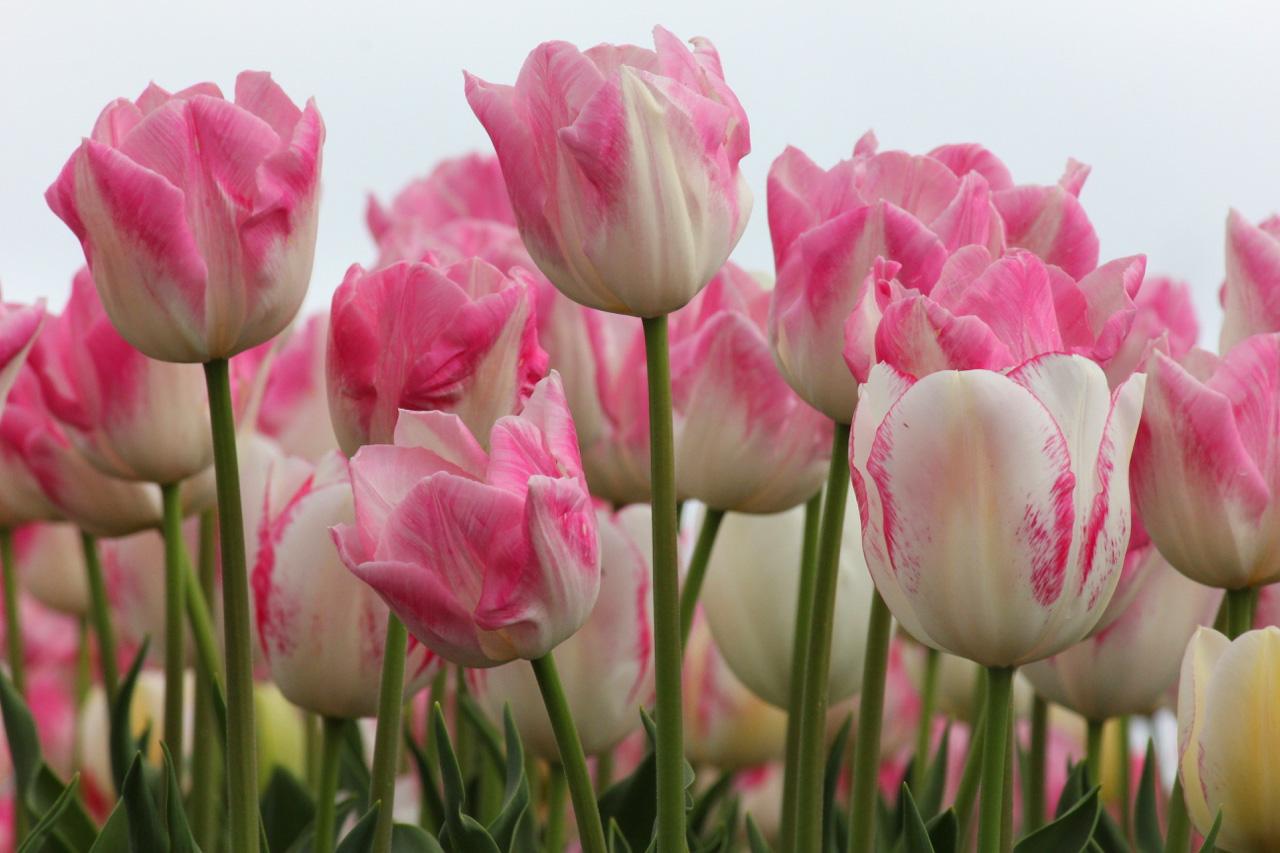 110,000 Tulip bulbs were planted.