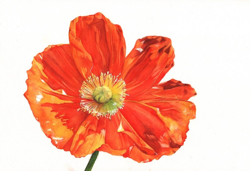 Poppy-watercolour-Louise-DeMasi