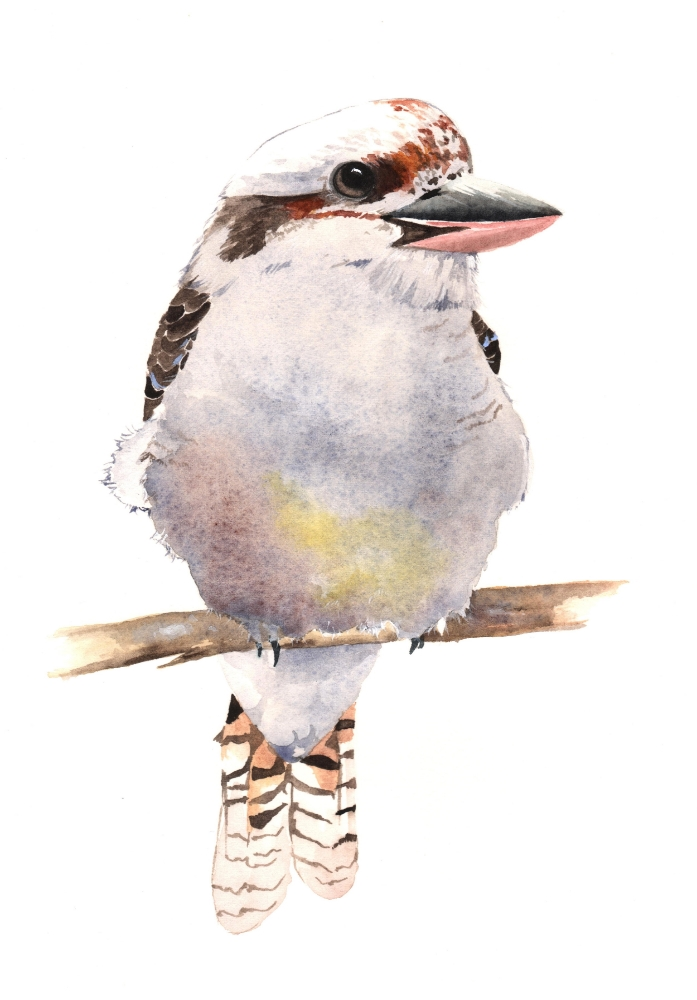 My second kookaburra-louse-demasi