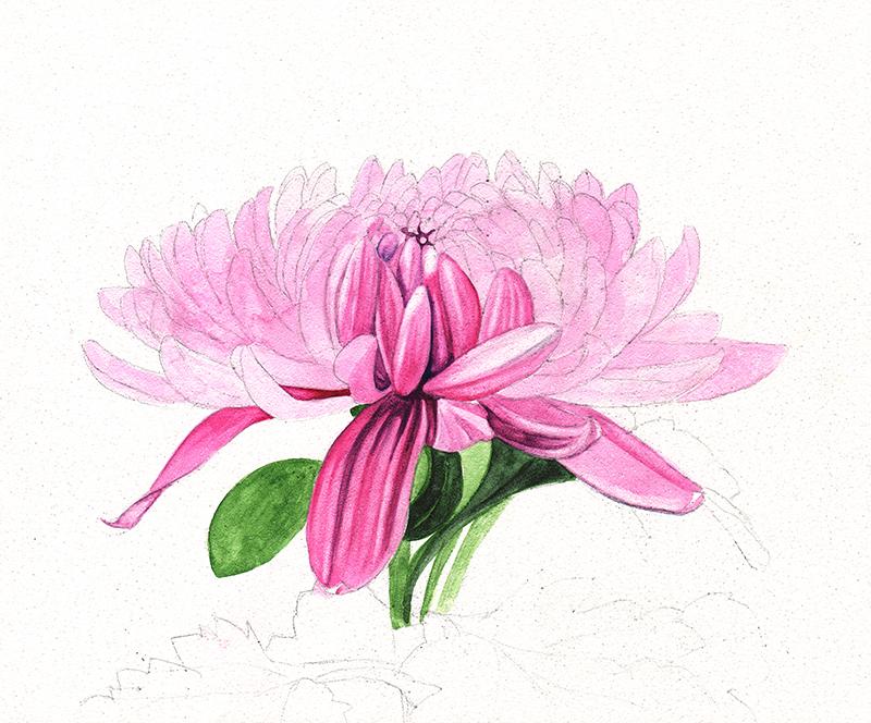 Chrysanthemum scan 1
