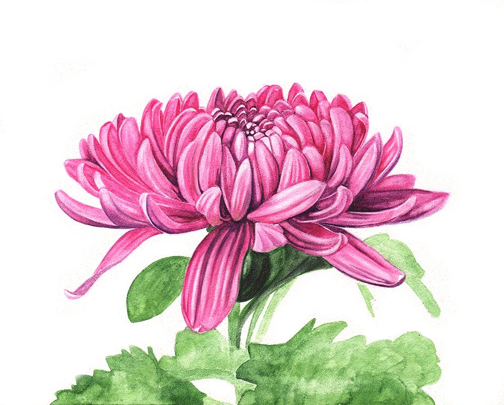 Chrysanthem-scan-4-Louise-Demasi