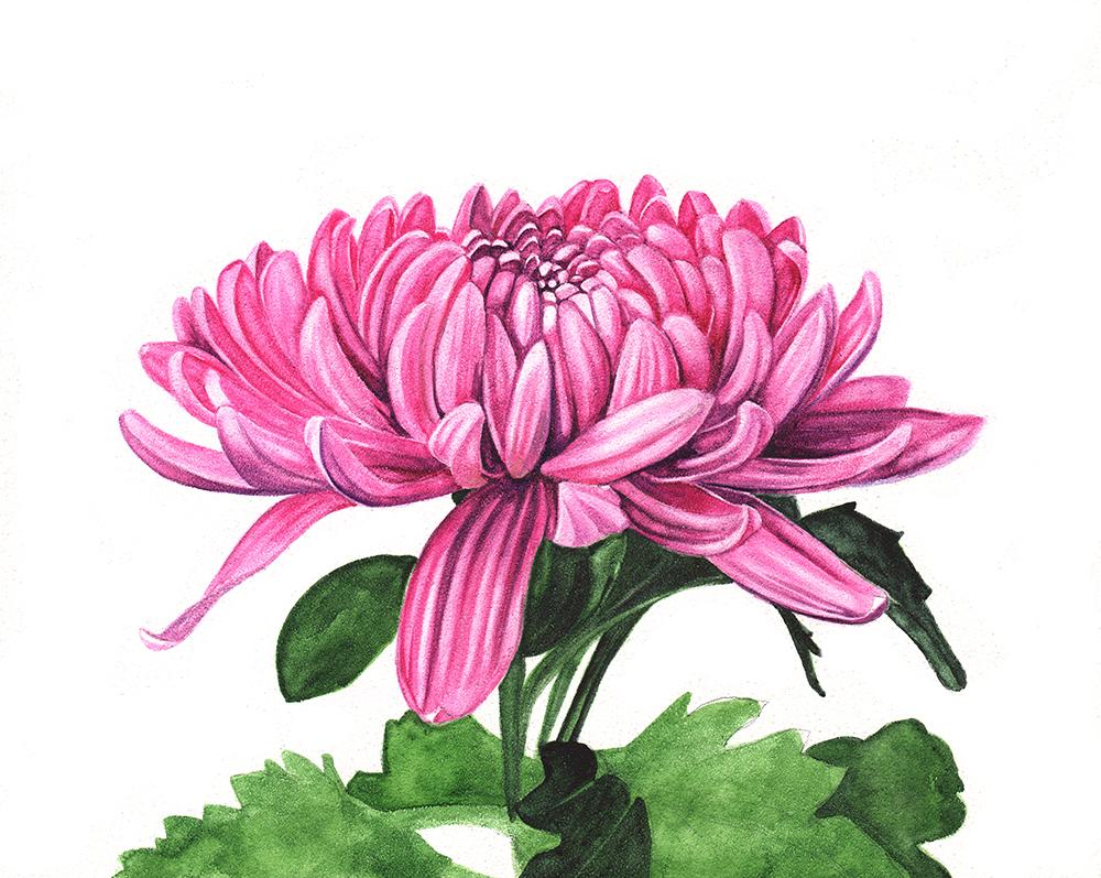 Chrysanthemum scan 5 Louise Demasi