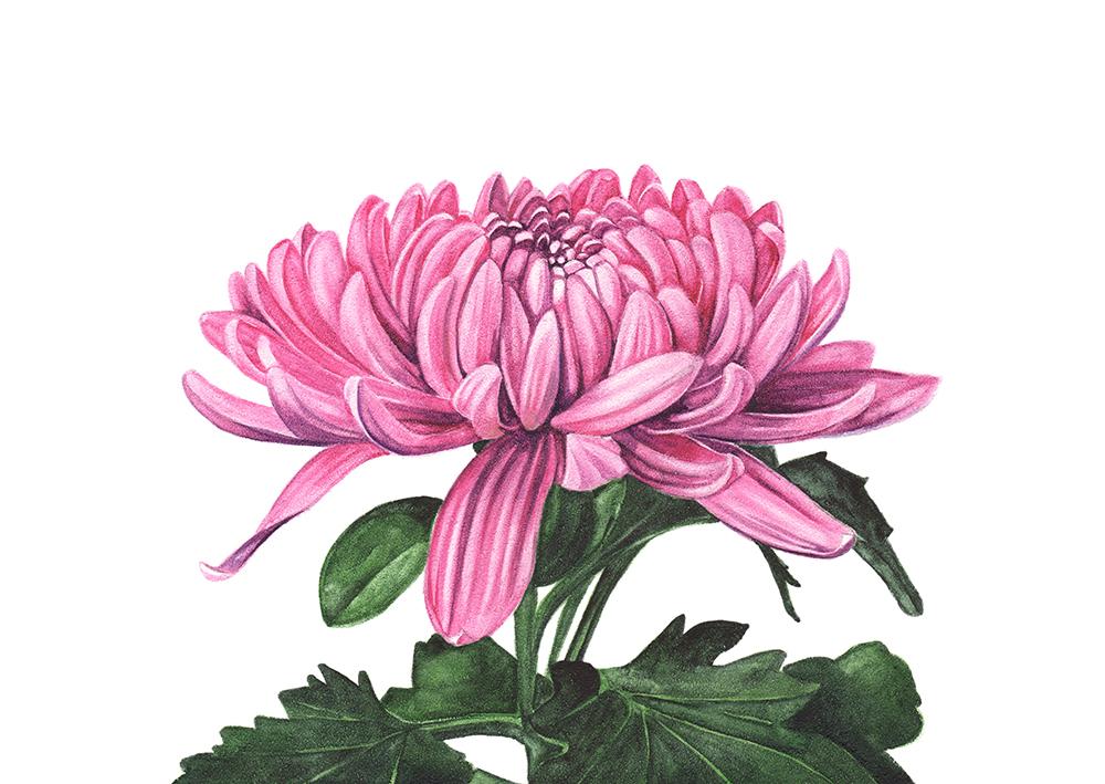 Chrysanthemum- watercolour on Aquabord.