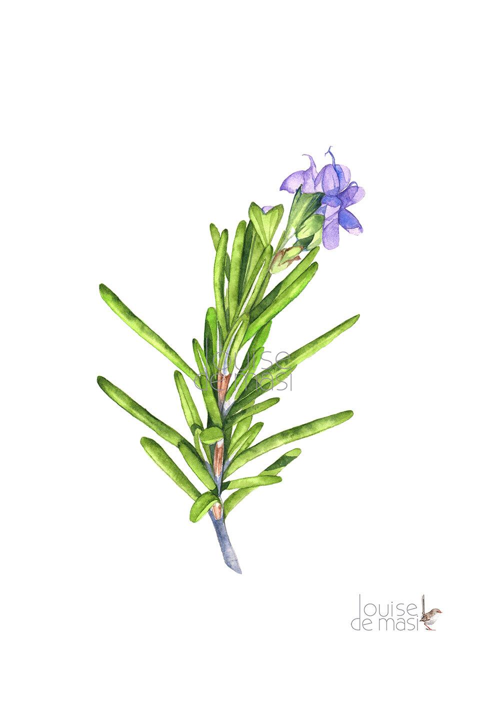 Watercolour Herbs