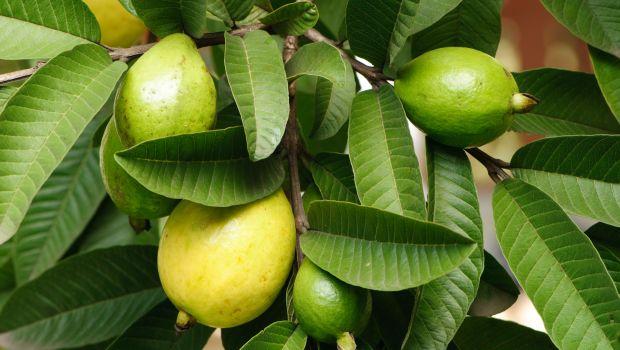guava-620_620x350_71479894974.jpg