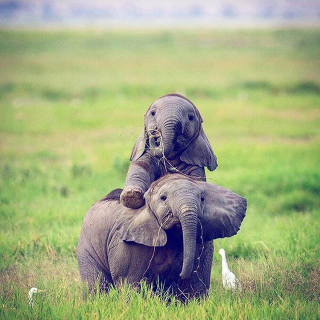 """""""The largest land mammal on Earth, the African elephant weighs up to eight tonnes. The elephant is distinguished by a long trunk, which has many uses ranging from using it as a hand to pick up objects, as a horn to trumpet warnings, an arm raised in greeting, to a hose for drinking water or bathing..."""" 🐘 a passage found at the back of our """"This card is poo and I thought of you."""" greeting card made of 25% elephant which provides an economic incentive in Sri Lanka for the elephant's conservation! Check them out on our website @uncaptiveco 💙 #uncaptive #ethicalrevolution #protecttheelephants (photo by @san.tigris ) . . . . . #minimalist #minimalismo #zerowastelifestyle #veganawareness #elephantlover #minimalism #environmentallyfriendly #ecofriendly #ecocards #ecostationary #noplastic #zerowaste #slowliving #plasticfreeforthesea #funnygreetingcard #plasticfree #ethicalconsumer #greetingcards #consciousliving #lowimpactmovement #ditchplastic #zerowasteliving #sustainableliving #veganblogger #vegansofuk #lowimpact #protecttheocean via @preview.app"""