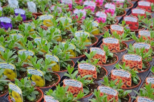 Petunia pot bedding plants on the benches at Wallington Nursery