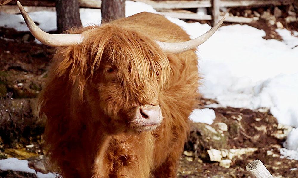 schottische-hochlandrinder-billy-winter-stall.jpg