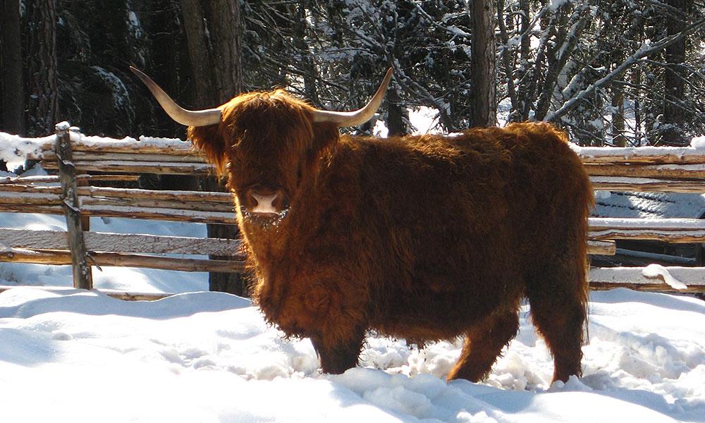 schottische-hochlandrinder-billy-winter-weide.jpg