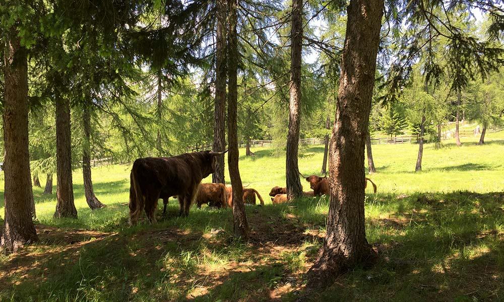 schottische-hochlandrinder-sommer-berghuette.jpg