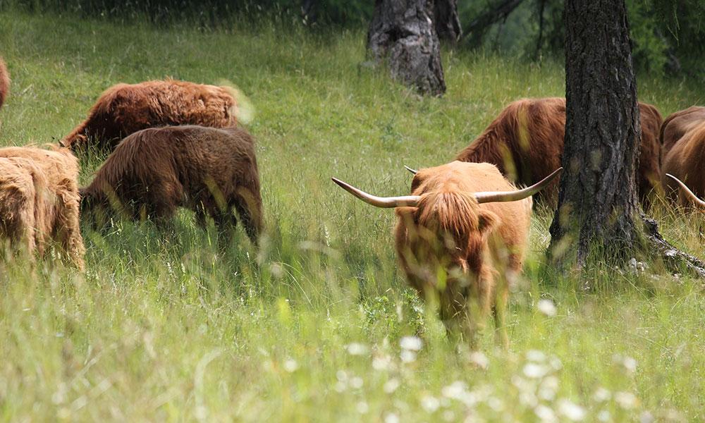 schottische-hochlandrinder-weide-wiese-herde.jpg