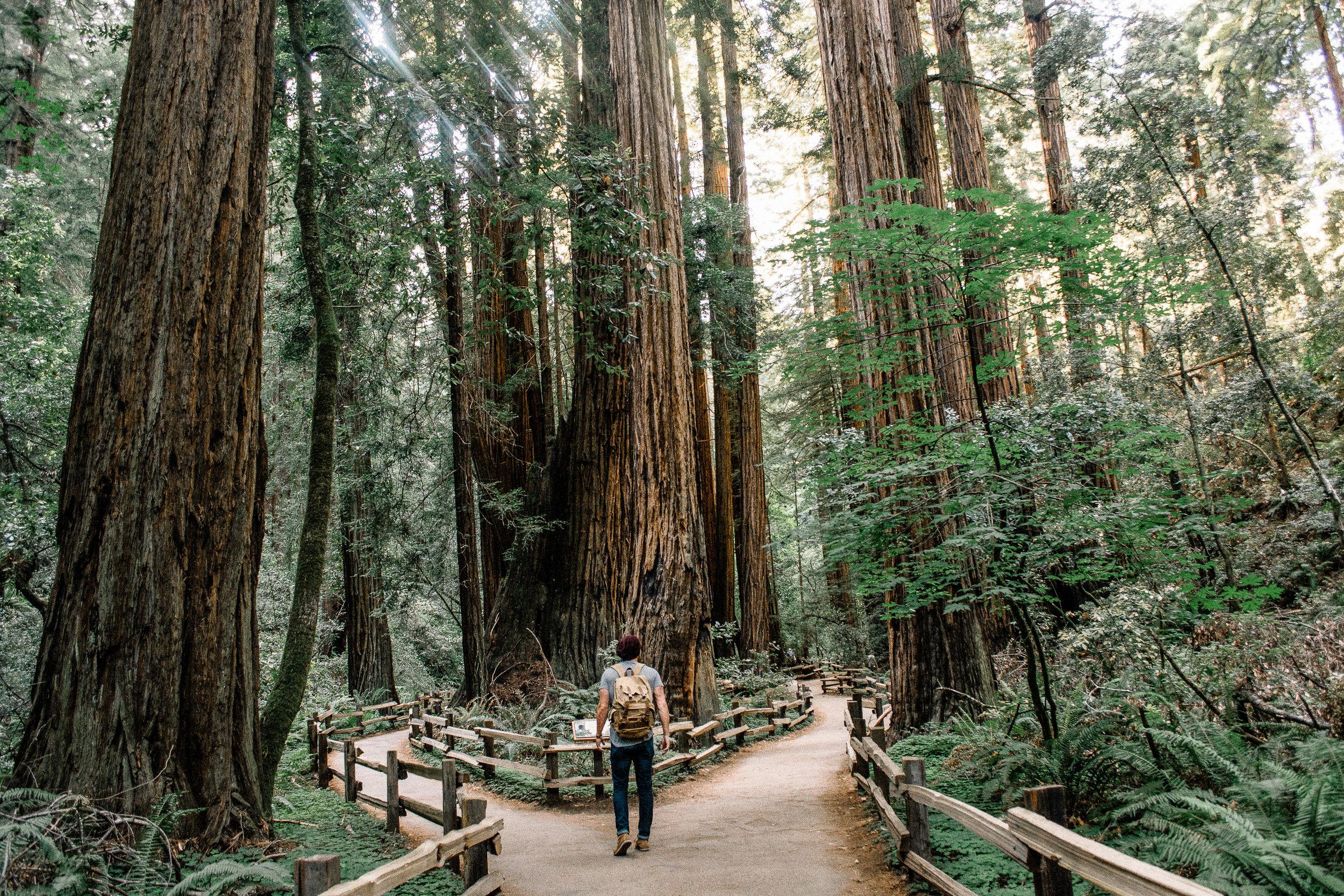 quiet walk alone under redwood trees