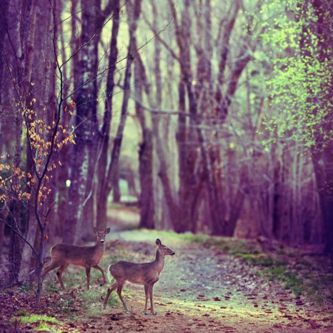 Photo: Deer in Woods by Christopher O'Donnell