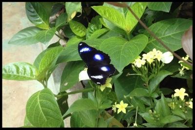 Jacintha Eggfly