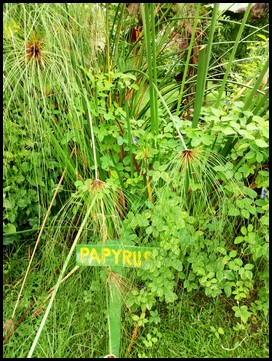 Papyrus. The plant that was used to make paper in ancient Eygpt.