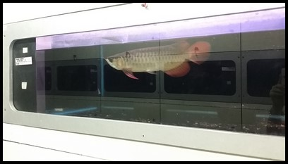 This red arowana actually costs $1188!