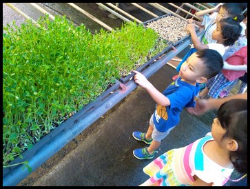 The kids discovered the different stages of the pea sprouts