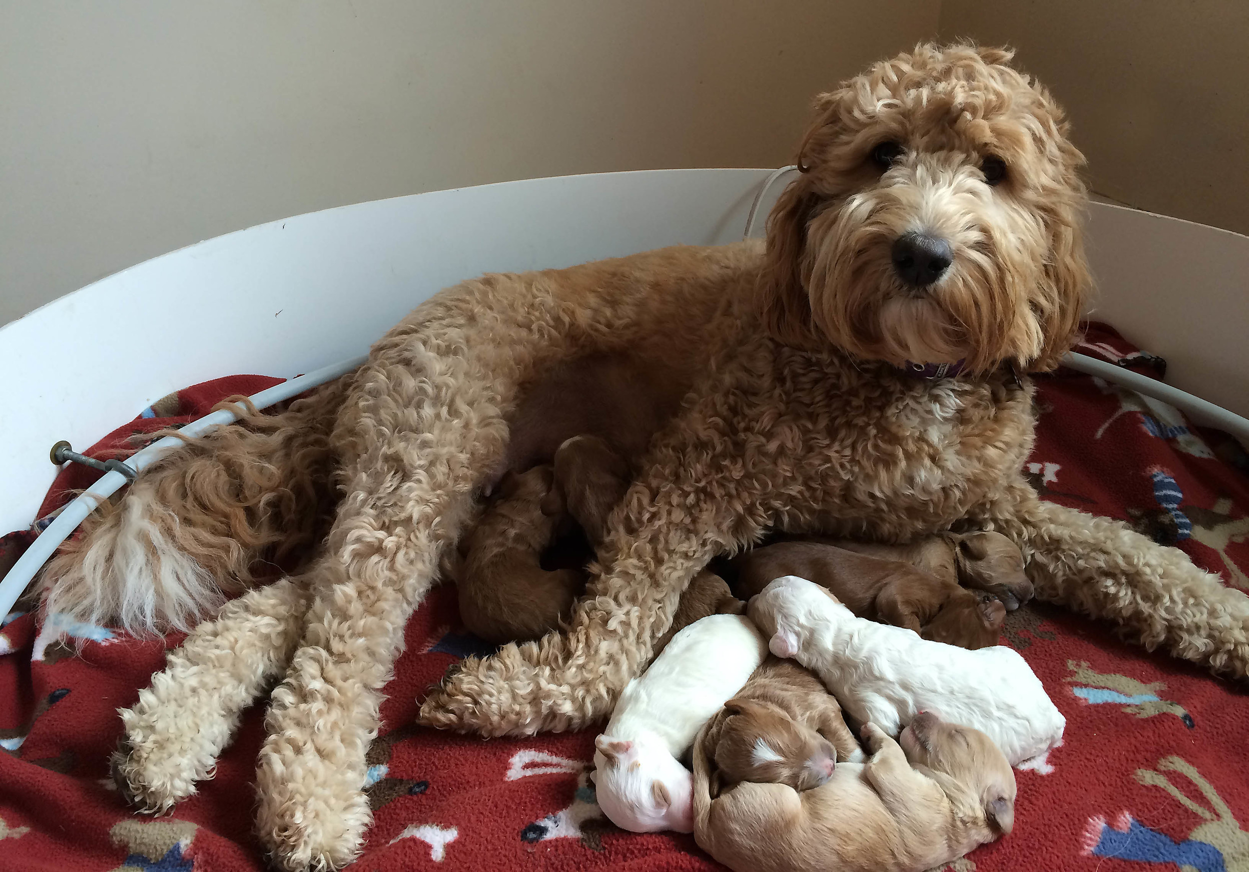 Prairie Doodles Australian Labradoodle litter of puppies