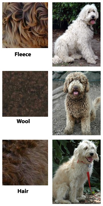 Prairie Doodles about labradoodle breed, coat