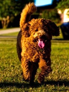 Prairie Doodles Australian Labradoodle reviews, Bailey