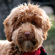Prairie Doodles about labradoodle breed, history