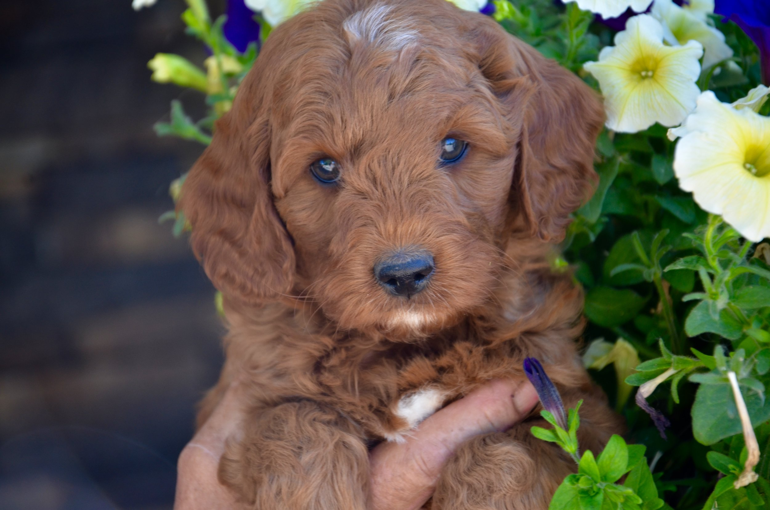 Congrats to Miss Ginger and Irene at Vander Doodles! This gal will add so much to your new breeding program!