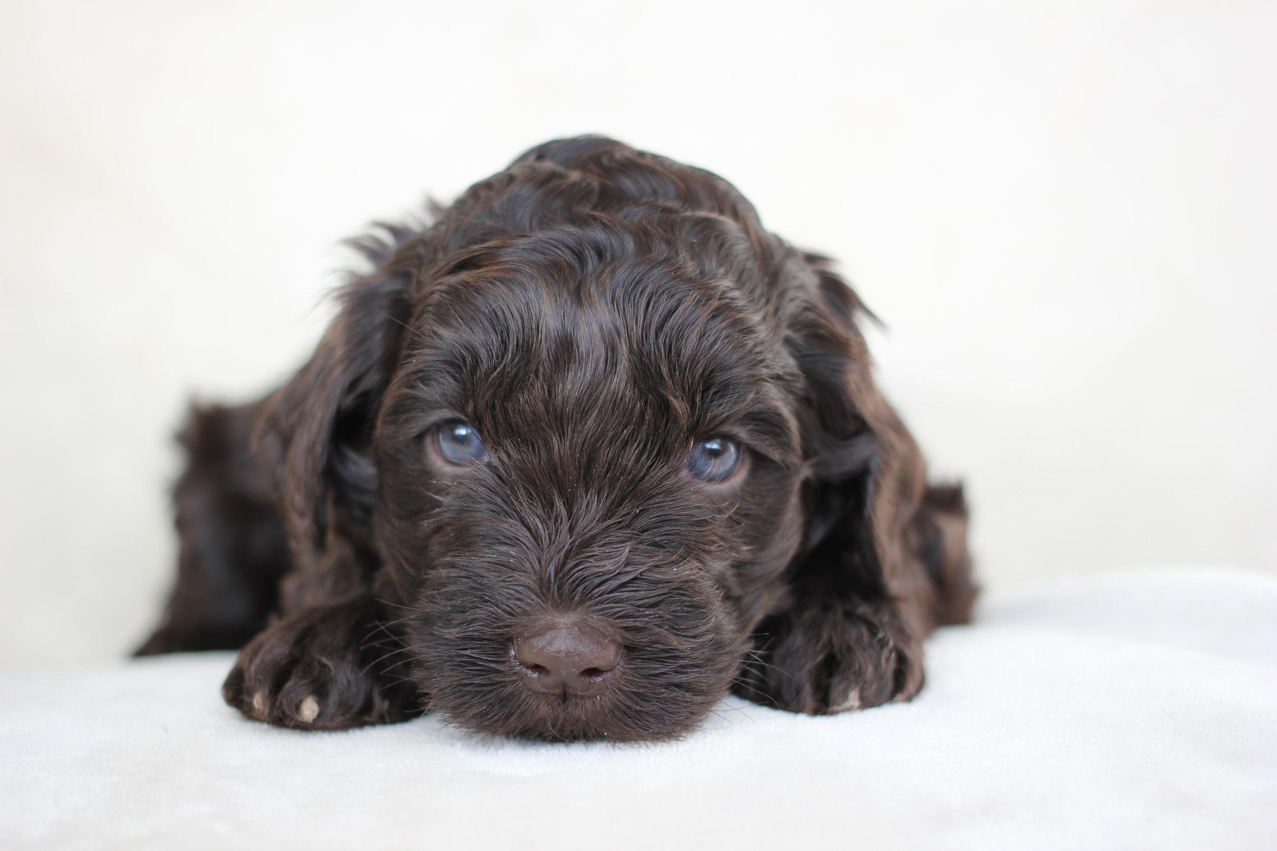 Dark Chocolate Boy