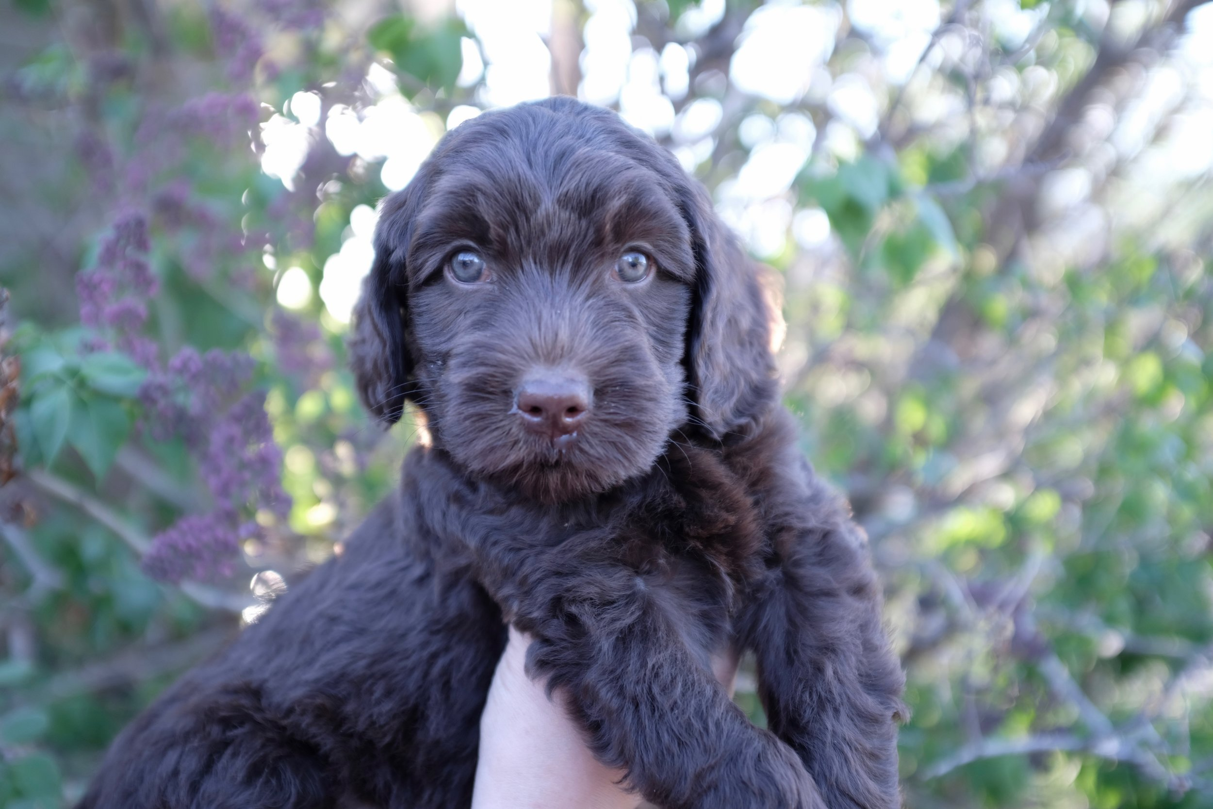 And last but not least, Orange Girl will be our newest addition to the Prairie Doodle program! Congrats to our guardian family, the Murray's!