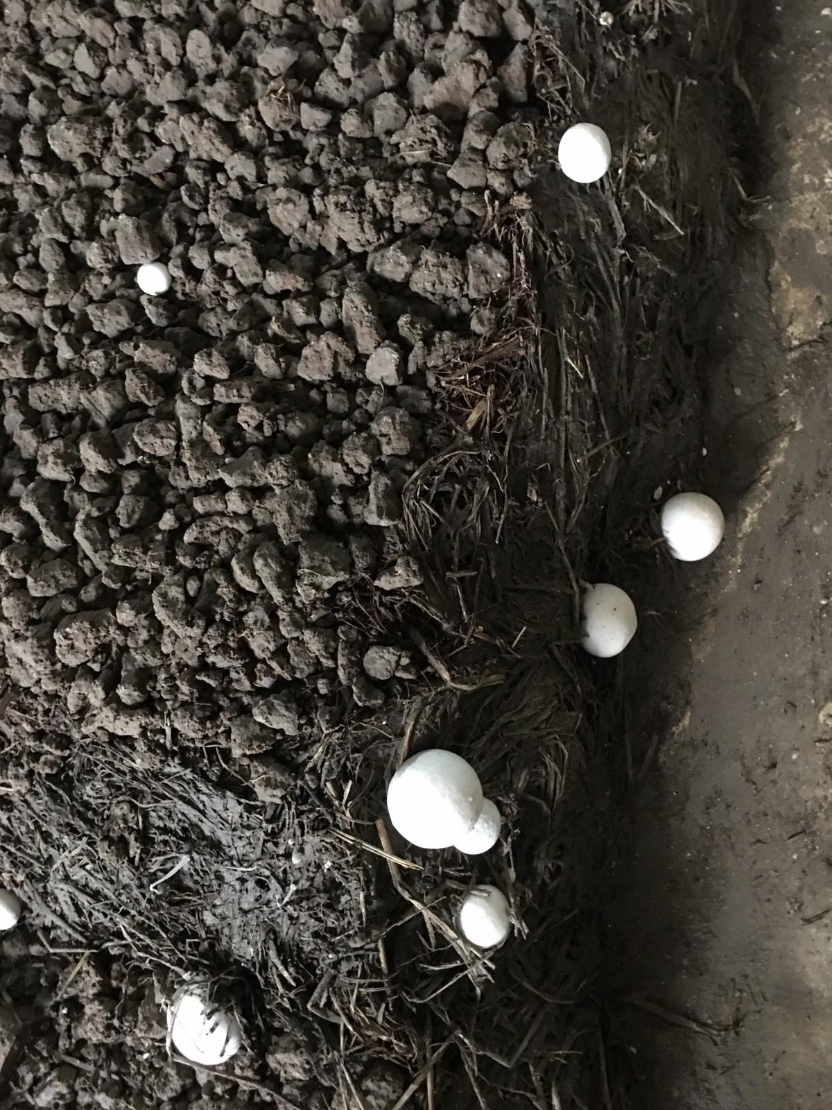 button mushroom 3.jpeg
