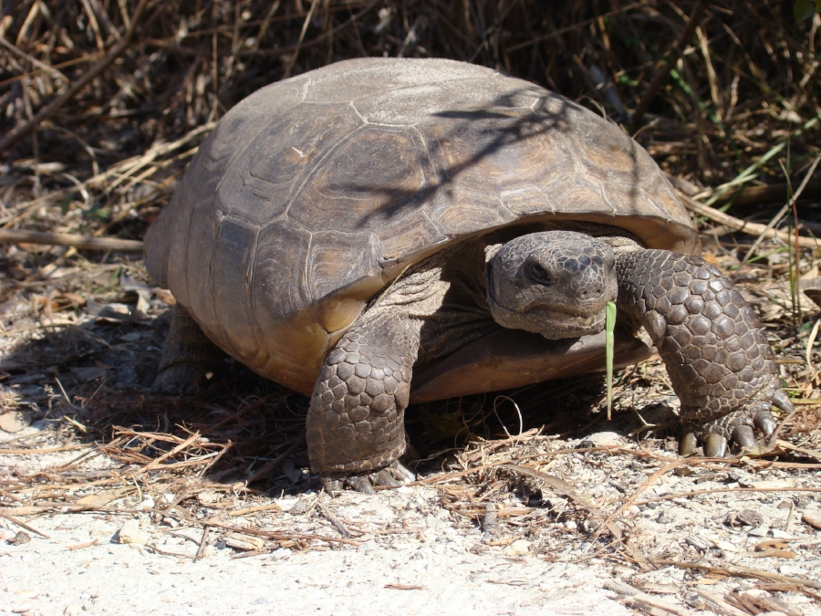The first turtle of The Big Turtle Year, an adult female gopher tortoise ( Gopherus   polyphemus  )  at Boyd Hill Nature Preserve (St. Petersburg, Florida). Photograph by George L. Heinrich.