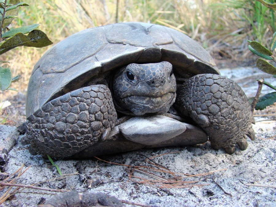 An adult male gopher tortoise ( Gopherus   polyphemus ) at Boyd Hill Nature Preserve (St. Petersburg, Florida). Photograph by George L. Heinrich.