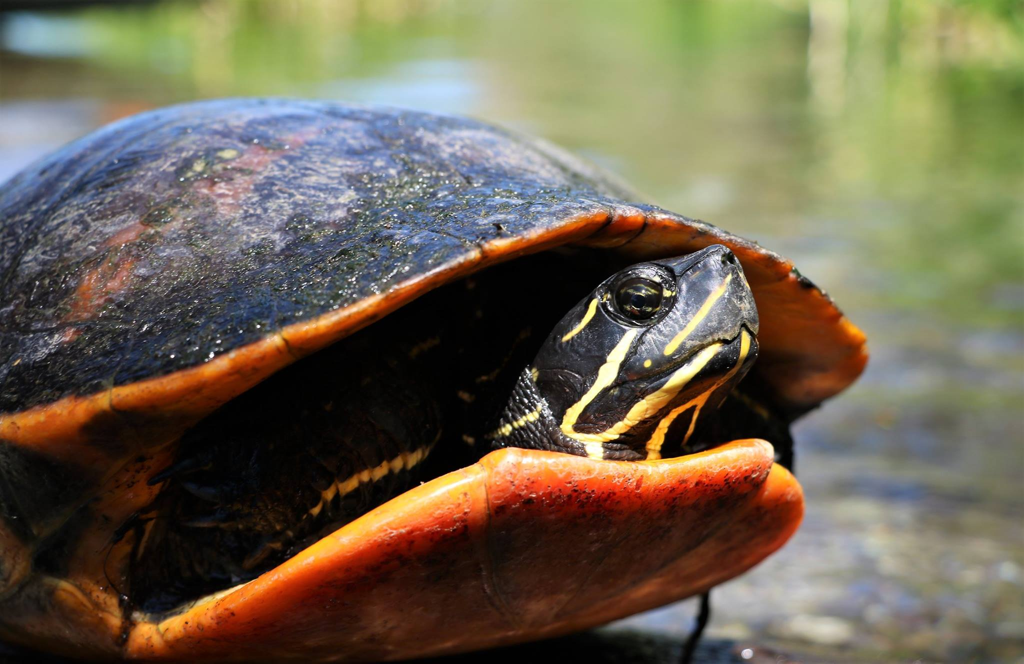 The fifth species of The Big Turtle Year, a large, adult female Florida red-bellied cooter ( Pseudemys nelsoni ), at Ichetucknee Springs State Park (Columbia County, Florida). Note the cusp on the upper jaw, a distinguishing characteristic not present in the other two species of cooters that occur in Florida. Photograph by George L. Heinrich.