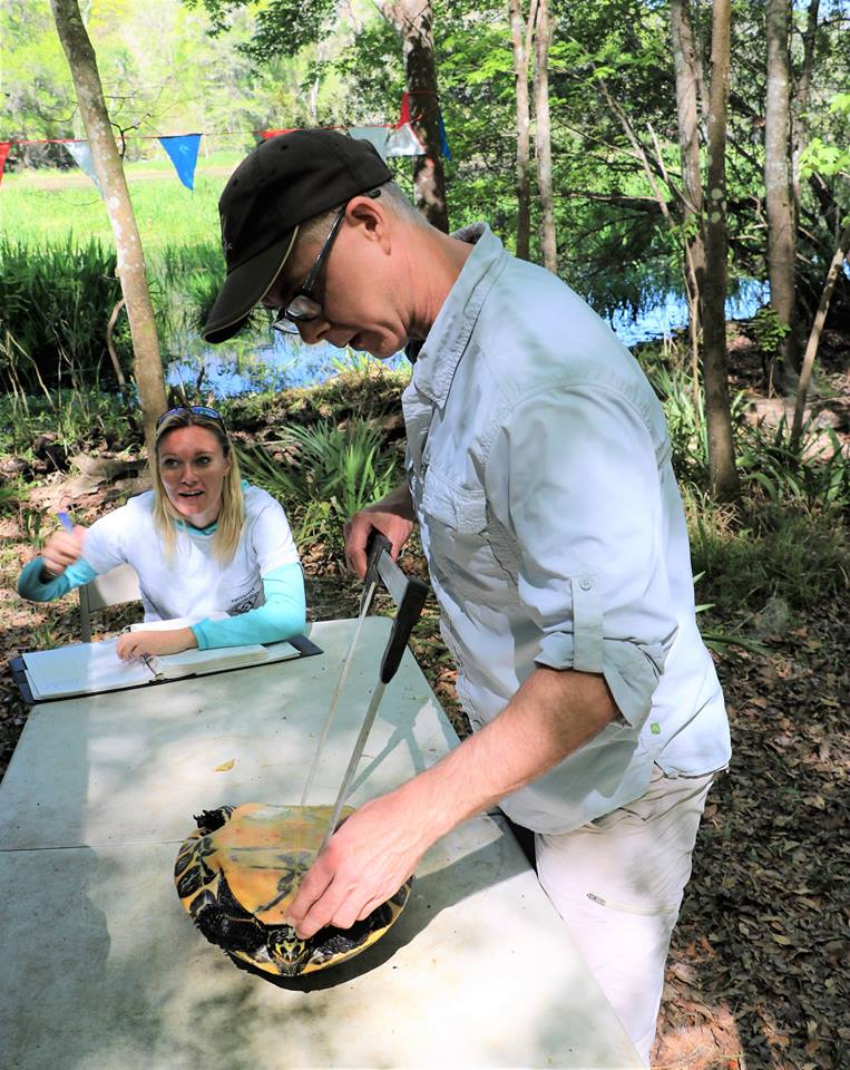 TBTY partner Dr. Jerry Johnston (Santa Fe College) measuring the plastron of a Suwannee cooter ( Pseudemys concinna   suwanniensis ) at Ichetucknee Springs State Park (Columbia County, Florida). Photograph by George L. Heinrich.