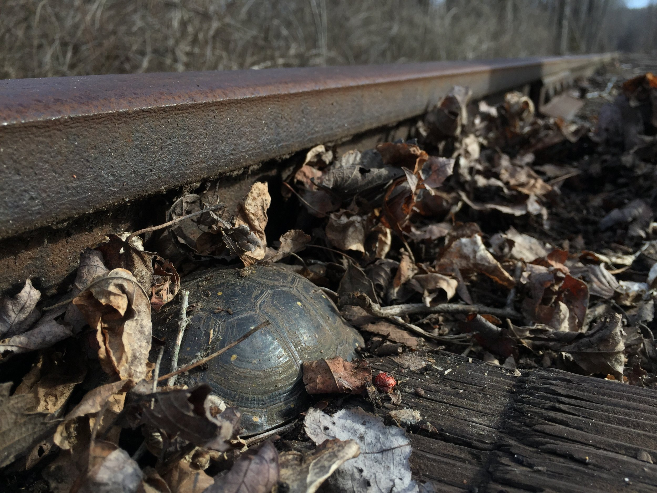 Male spotted turtle ( Clemmys guttata ) resting under leaf pile on abandoned railroad tracks. Photograph by Timothy J. Walsh.