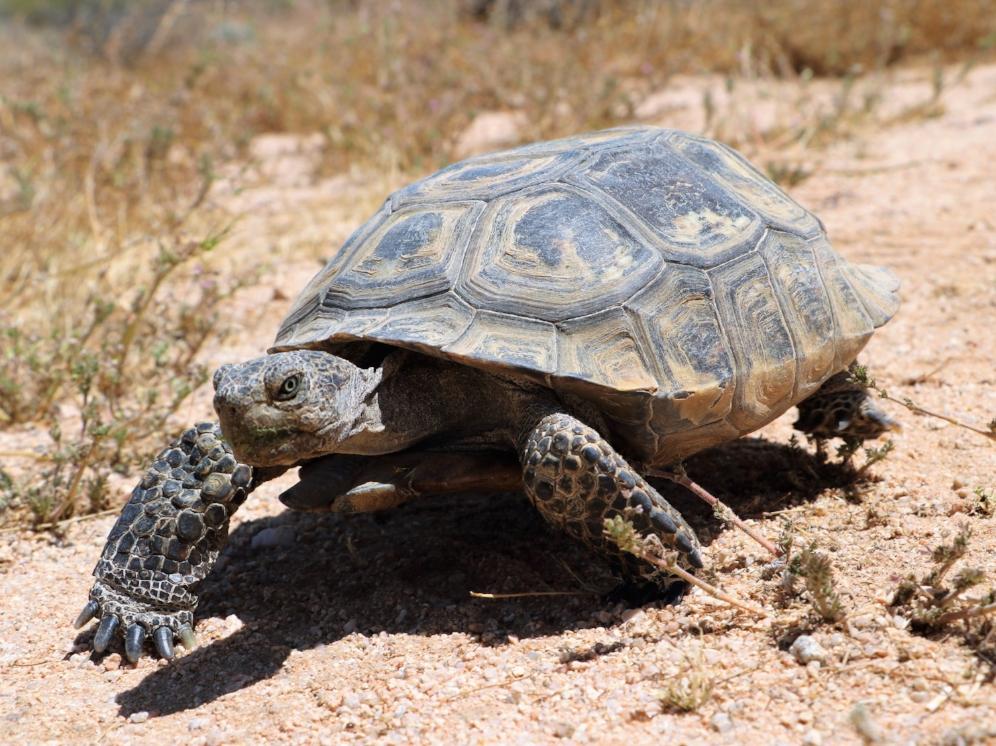 Mojave desert tortoise ( Gopherus agassizii ) at the Desert Tortoise Natural Area (California City, California). Photograph by George L. Heinrich.