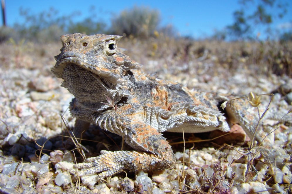 Desert horned lizard ( Phrynosoma   platyrhinos ) at the Desert Tortoise Natural Area (California City, California). Photograph by George L. Heinrich.