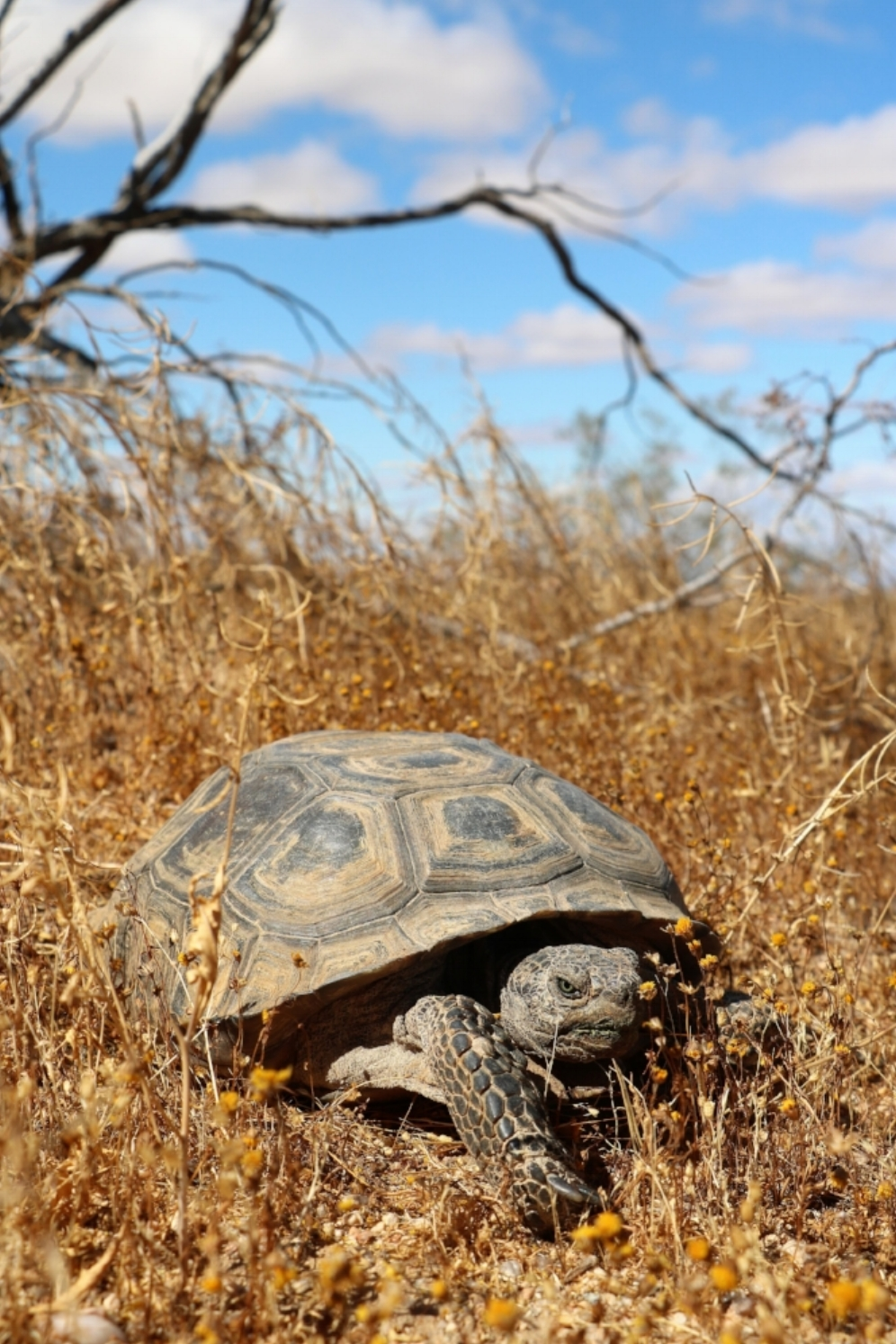 Mojave desert tortoise ( Gopherus agassizii ) at the Desert Tortoise Natural Area (California City, California). Photograph by George L. Heinrich.