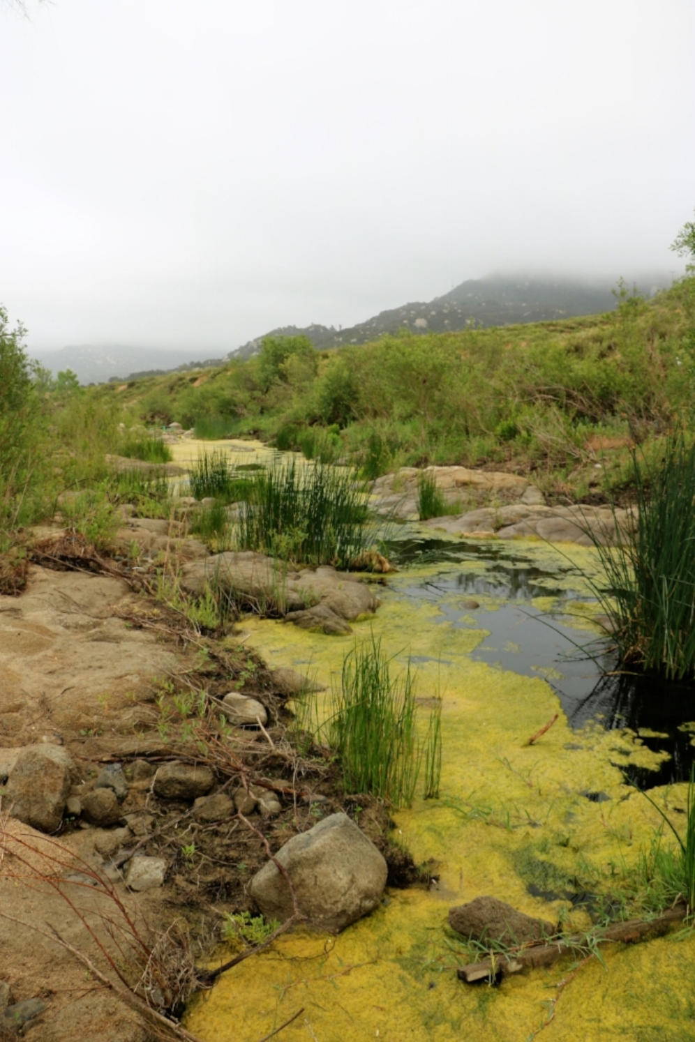 Western pond turtle ( Actinemys   marmorata ) habitat in Riverside County, California. Photograph by George L. Heinrich.