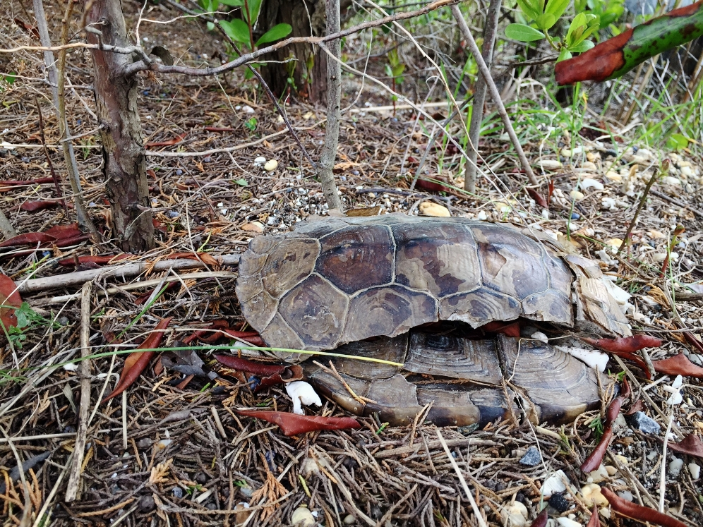 Deceased female northern diamondback terrapin ( Malaclemys t. terrapin ).Photograph by Timothy J. Walsh.
