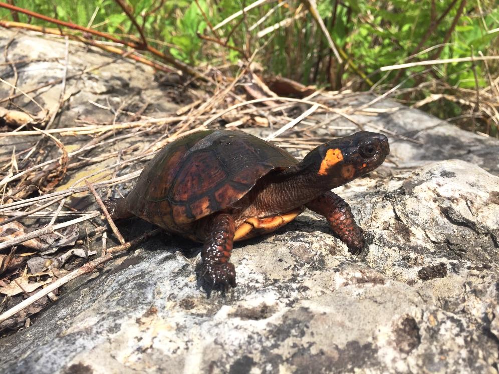 Female bog turtle ( Glyptemys muhlenbergii ) showing the distinctive orange head patch. Photograph by Timothy J. Walsh.