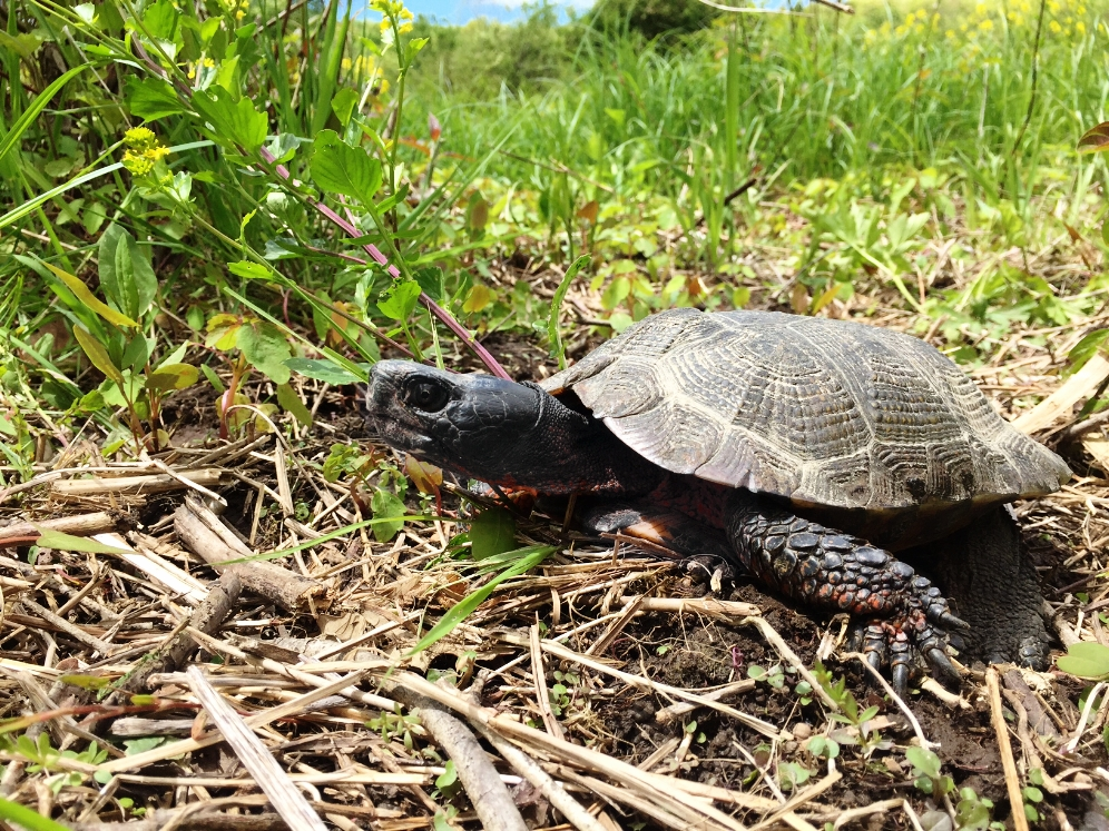 A particularly large and handsome male wood turtle ( Glyptemys insculpta ). Photograph by Timothy J. Walsh.