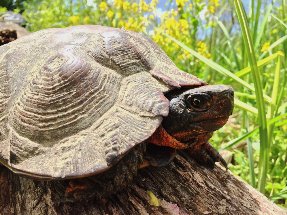 Male wood turtle ( Glyptemys insculpta ). Photograph by Timothy J. Walsh.