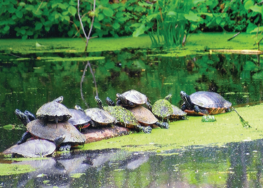 Common map turtles ( Graptemys   geographica ) and northern red-bellied cooters ( Pseudemys rubriventris ) basking together in the Delaware and Raritan Canal (Somerset County, New Jersey) on a separate trip. Photograph by James R. Angley.