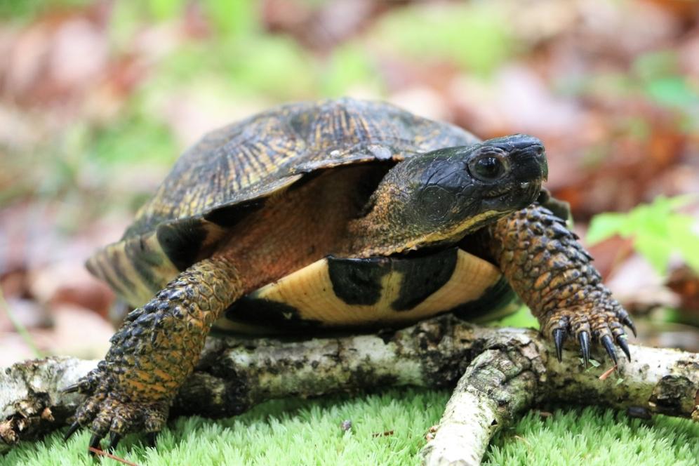 Adult female wood turtle ( Glyptemys   insculpta ) in southwestern Michigan. Photograph by George L. Heinrich.