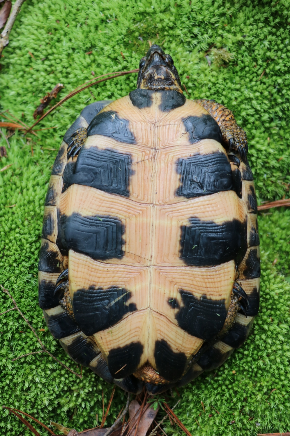 Plastron of an adult female wood turtle ( Glyptemys   insculpta ) in southwestern Michigan. Photograph by George L. Heinrich.